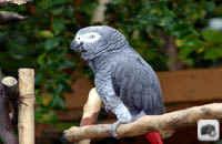 تصویر بسیار زیبا از طوطی خاکستری (کاسکو)