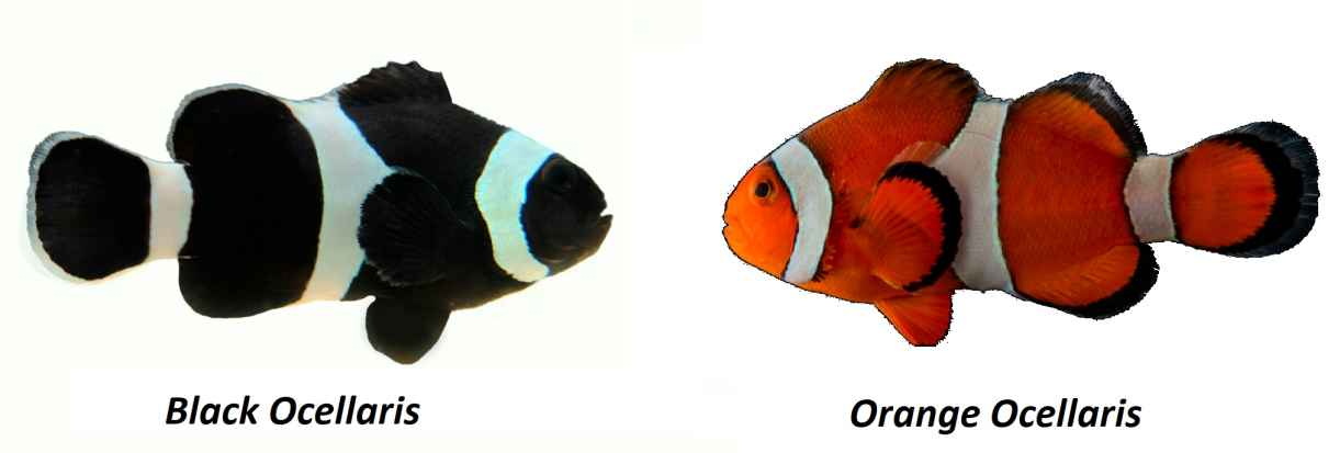 Black Ocellaris orange ocellaris OnlyPet.ir