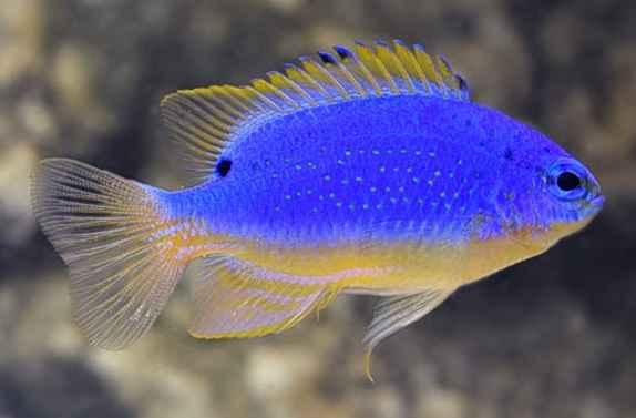 Fijian Blue Devil Damselfish