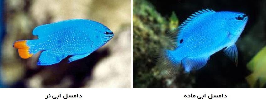 bluedamsel 01