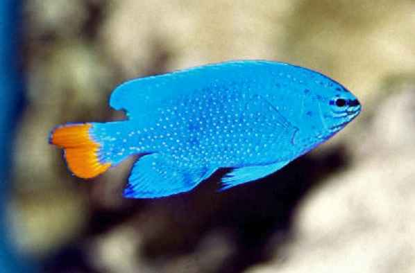 bluedamsel