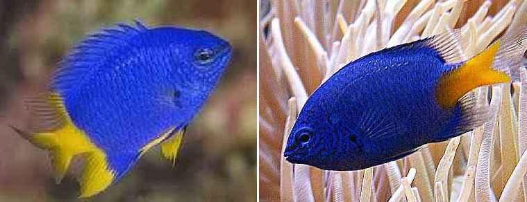 damsel blue yellowtail onlypet.ir
