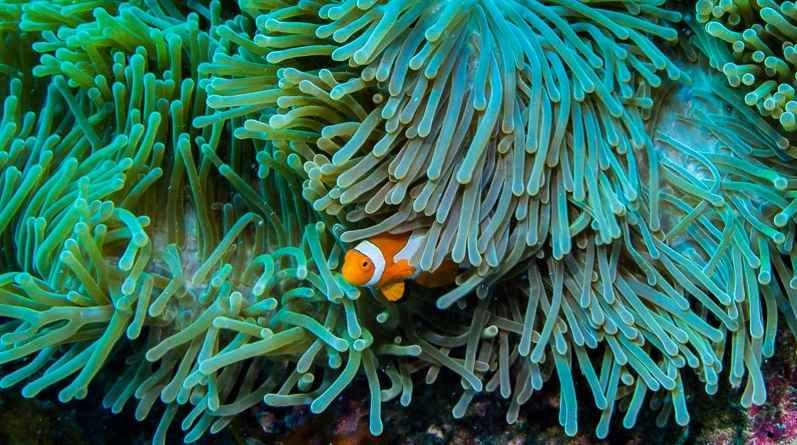 wild ocellaris clownfish OnlyPet