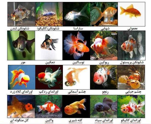 گونه های گلد فیش